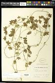 view Passiflora lancearia Mast. digital asset number 1