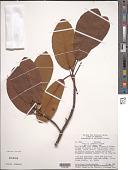 view Ficus ponnensis Standl. digital asset number 1