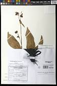 view Commelina rosulata Faden & Layton digital asset number 1
