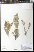 view Artemisia tridentata Nutt. digital asset number 1