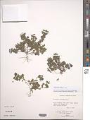 view Parietaria debilis G. Forst. digital asset number 1