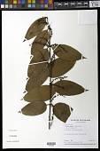 view Phthirusa pyrifolia (Kunth) Eichler digital asset number 1