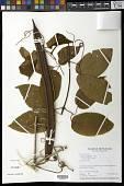 view Bignonia neoheterophylla L.G. Lohmann digital asset number 1