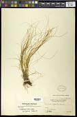 view Carex subtrigona (Nelmes) K.L. Wilson digital asset number 1