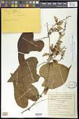 view Dioscorea cordata (L.) Raz var. cordata digital asset number 1