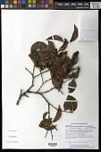 view Chaetocarpus schomburgkianus (Kuntze) Pax & K. Hoffm. digital asset number 1