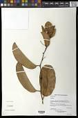 view Passiflora laurifolia L. digital asset number 1