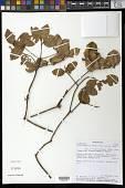 view Beilschmiedia pedicellata van der Werf digital asset number 1