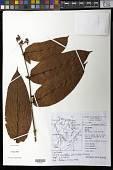 view Vismia sessilifolia (Aubl.) Choisy digital asset number 1