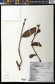 view Psittacanthus sp. digital asset number 1
