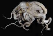 view Octopus cyanea digital asset number 1