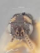 view Harmolita agropyrocola digital asset number 1