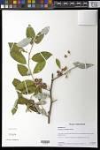 view Elaeagnus umbellata Thunb. digital asset number 1