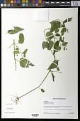 view Scutellaria sp. digital asset number 1