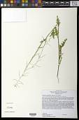 view Caulanthus lasiophyllus (Hook. & Arn.) Payson digital asset number 1
