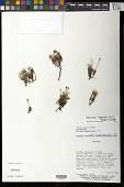 view Phylloscirpus deserticola (Phil.) Dhooge & Goetgh. digital asset number 1