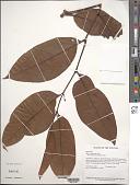 view Piper arboreum Aubl. digital asset number 1