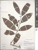 view Piper anonifolium (Kunth) C. DC. digital asset number 1