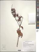 view Connarus coriaceus G. Schellenb. digital asset number 1