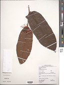 view Hirtella physophora Mart. & Zucc. digital asset number 1