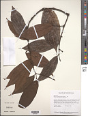 view Piper hostmannianum (Miq.) C. DC. digital asset number 1