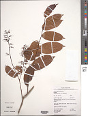 view Hirtella racemosa Lam. var. racemosa digital asset number 1