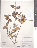 view Licania leptostachya Benth. digital asset number 1