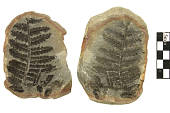 view Fossil Tree Fern digital asset number 1