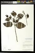 view Oryctanthus alveolatus (Kunth) Kuijt digital asset number 1