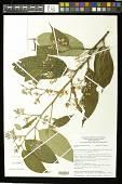 view Trichospermum galeottii (Turcz.) Kosterm. digital asset number 1