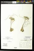 view Androstephium breviflorum S. Watson digital asset number 1