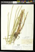 view Eleocharis mutata (L.) Roem. & Schult. digital asset number 1