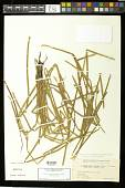 view Eleocharis acutangula (Roxb.) Schult. subsp. acutangula digital asset number 1