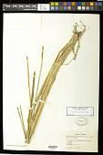view Eleocharis variegata (Poir.) C. Presl digital asset number 1