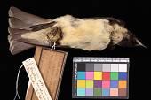 view Artamus leucorhynchus mentalis digital asset number 1