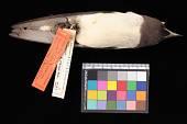 view Artamus leucorhynchus leucorhynchus digital asset number 1