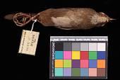 view Bradypterus barratti mariae digital asset number 1