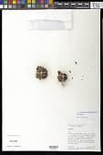 view Novenia acaulis (Wedd. ex Benth.) S.E. Freire & Hellwig digital asset number 1