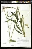 view Echinacea pallida (Nutt.) Nutt. digital asset number 1