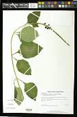 view Stachytarpheta mutabilis var. violacea Moldenke digital asset number 1