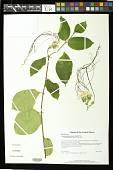 view Strophanthus preussii Engl. & Pax digital asset number 1