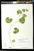 view Aristolochia fimbriata Cham. digital asset number 1