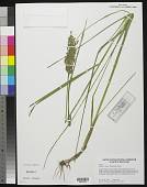 view Glyceria obtusa (Muhl.) Trin. digital asset number 1