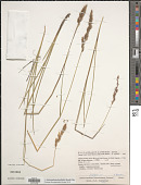 view Anthoxanthum horsfieldii (Benn.) Mez digital asset number 1