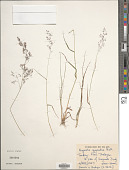 view Agrostis gigantea Roth digital asset number 1