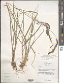 view Calamagrostis emodensis Griseb. digital asset number 1