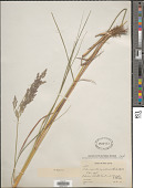 view Calamagrostis canadensis (Michx.) P. Beauv. digital asset number 1