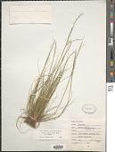 view Festuca octoflora Walter var. octoflora digital asset number 1
