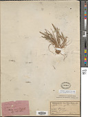 view Catapodium rigidum (L.) C.E. Hubb. digital asset number 1