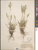 view Poa fendleriana subsp. longiligula (Scribn. & T.A. Williams) Soreng digital asset number 1